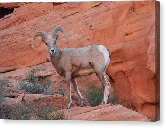 Desert Bighorn Sheep At Nevada's Valley Of Fire Canvas Print