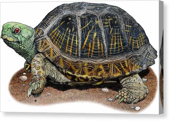 Box Turtles Canvas Print - Desert Box Turtle by Roger Hall