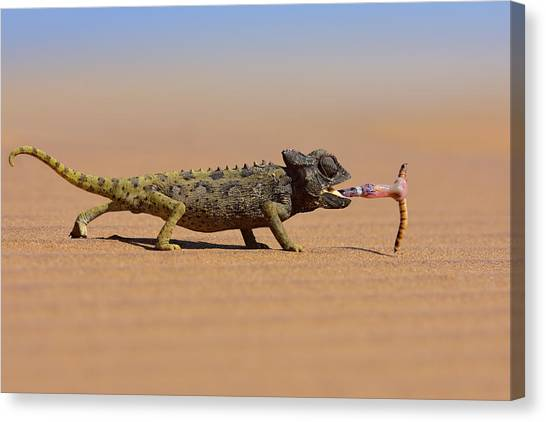 Desert Chameleon Catching A Worm Canvas Print by Freder