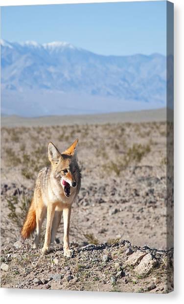 Desert Coyote Canvas Print