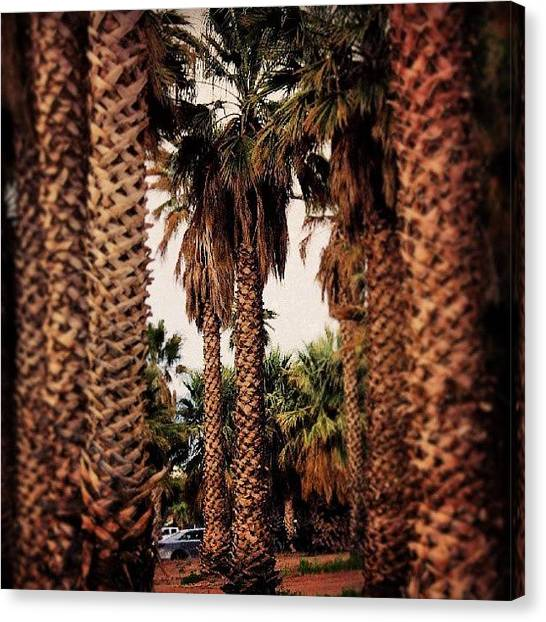 Grove Canvas Print - Desert Palms by Niki Crawford