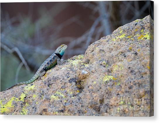 Desert Spiny Lizard Canvas Print