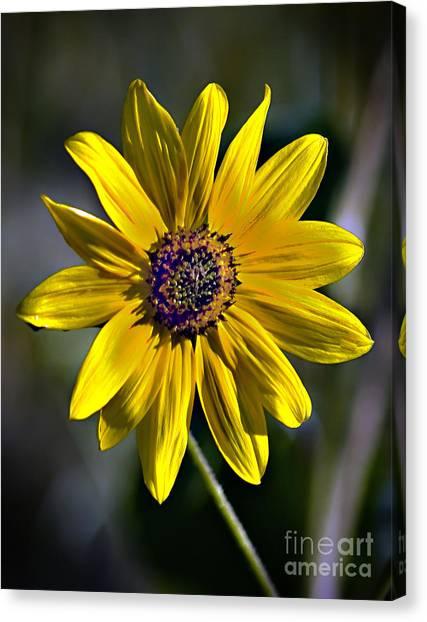 Sandy Desert Canvas Print - Desert Sunflower by Robert Bales