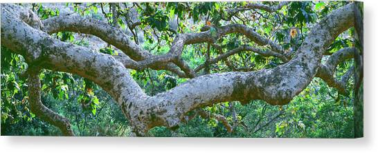 Sycamores Canvas Print - Detail Of Sycamore Tree In A Forest by Panoramic Images
