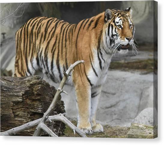 Detroit Tiger 2 Canvas Print by Michael Petrick