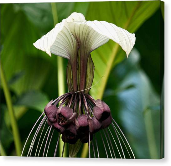 Devil Flower Canvas Print by Andrew Chianese