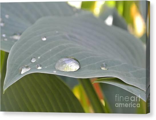 Dew Droplets Canvas Print