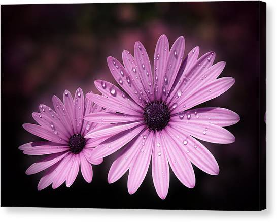 Dew Drops On Daisies Canvas Print