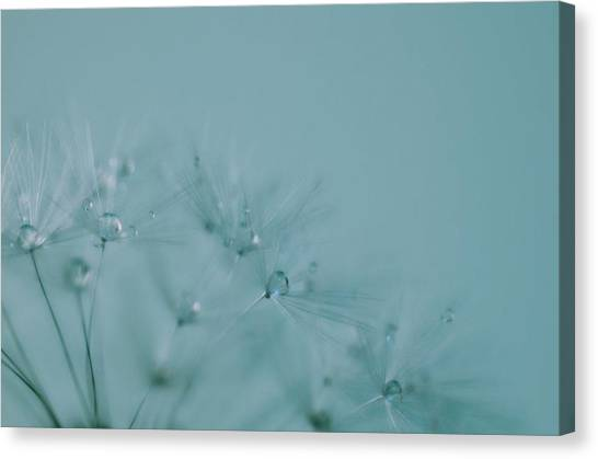 Dew Drops On Dandelion Seeds Canvas Print