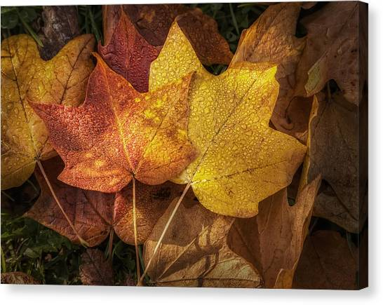 Amber Canvas Print - Dew On Autumn Leaves by Scott Norris