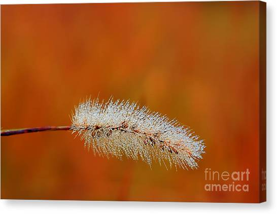 Dew On Grass Blade In Morning Canvas Print by Dan Friend
