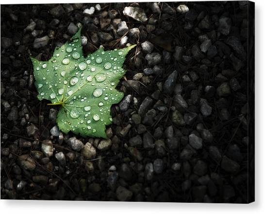 Isolated Canvas Print - Dew On Leaf by Scott Norris