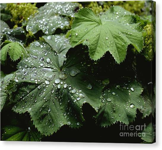 Dew On Leaves 2 Canvas Print