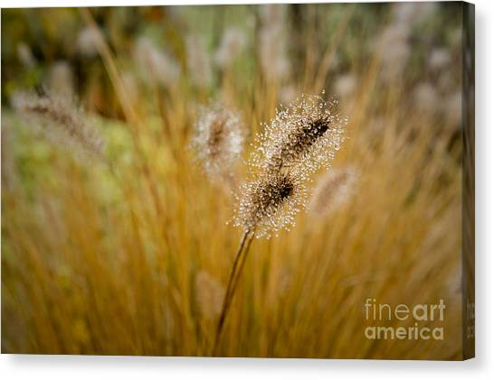 Canvas Print featuring the photograph Dew On Ornamental Grass No. 4 by Belinda Greb