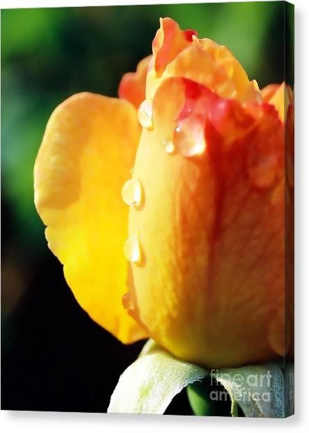 Dew On Rose Canvas Print