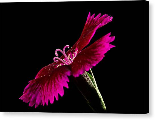 Canvas Print featuring the photograph Dianthus by Mary Jo Allen