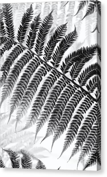Antarctica Canvas Print - Dicksonia Antarctica Tree Fern Monochrome by Tim Gainey