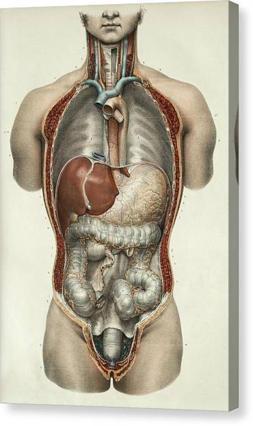 Abdomen Canvas Print - Digestive System by Science Photo Library