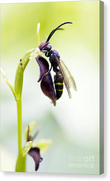 Pollinator Canvas Print - Digger Wasp And Fly Orchid by Tim Gainey