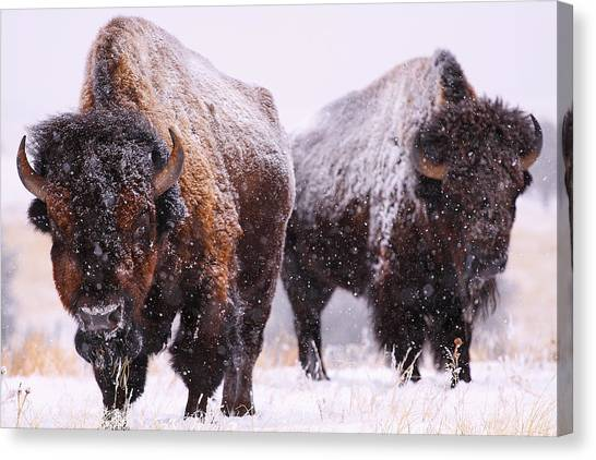 Bison Canvas Print - Dimensions  by Kadek Susanto