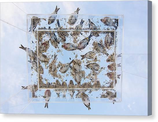Crossbills Canvas Print - Dining In The Sky by Tim Grams