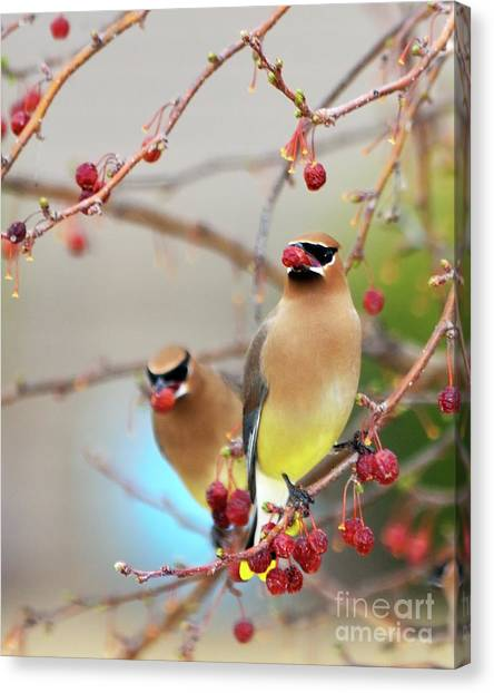 Cedar Waxwing Canvas Print - Dinner Date by Betty LaRue
