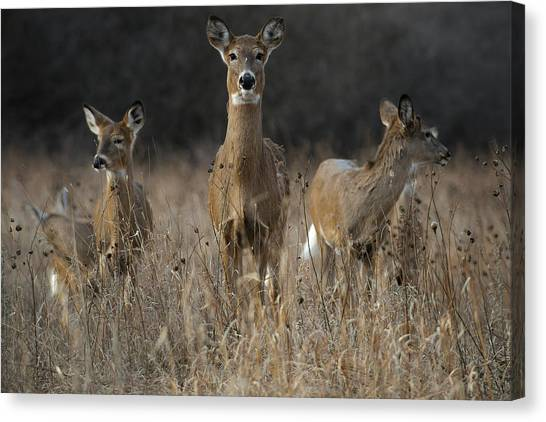 Doe And Yearlings Canvas Print