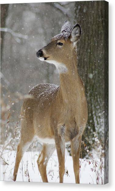 Doe In The Snow Canvas Print