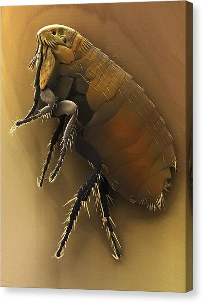 Fleas Canvas Print - Dog Flea (ctenocephalides Canis). by Power And Syred