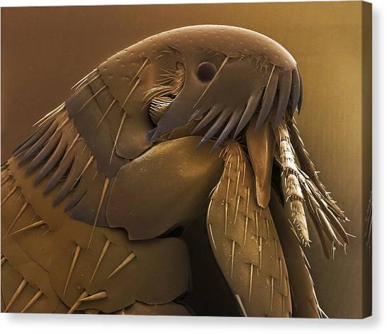 Fleas Canvas Print - Dog Flea Head (ctenocephalides Canis). by Power And Syred