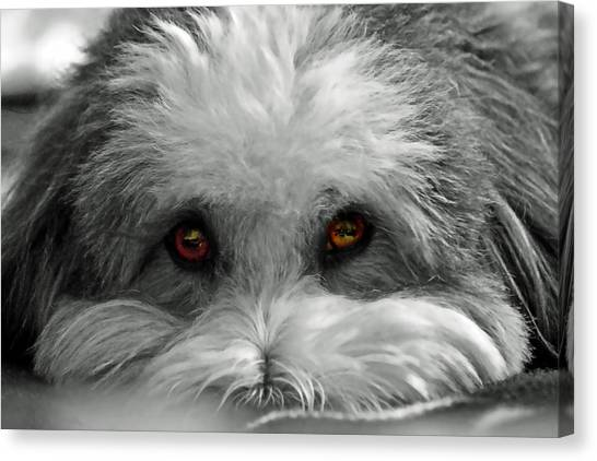 Coton Eyes Canvas Print