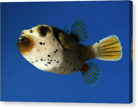 Puffer Canvas Print - Dogface Pufferfish by Nigel Downer