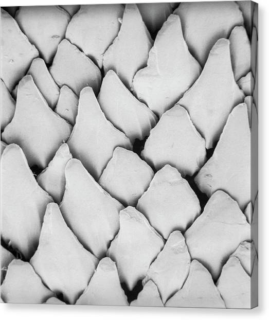 Dogfish Scales Canvas Print by Natural History Museum, London