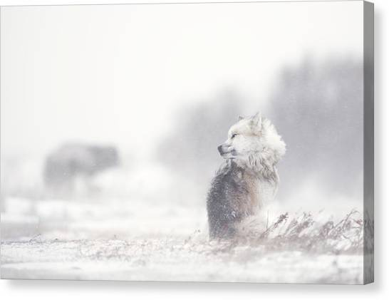 Canada Canvas Print - Dogs In The Storm by Marco Pozzi