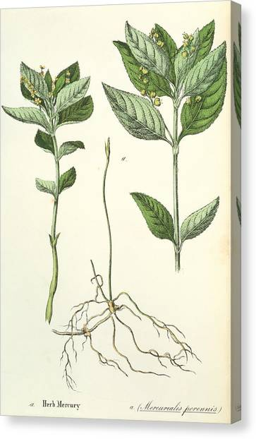 Dog's Mercury Canvas Print by Sheila Terry/science Photo Library