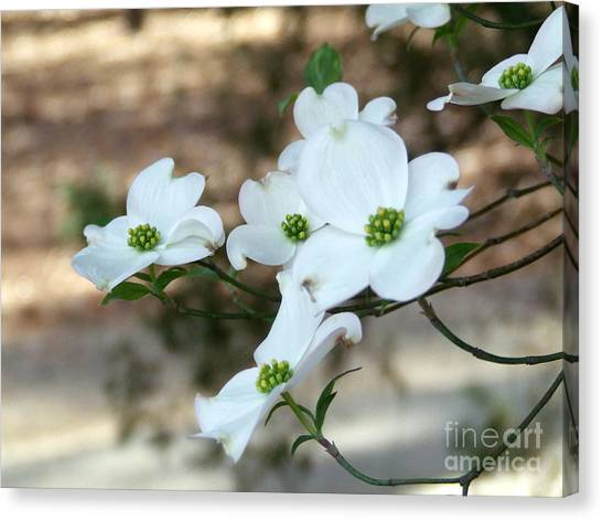 Dogwood 2 Canvas Print