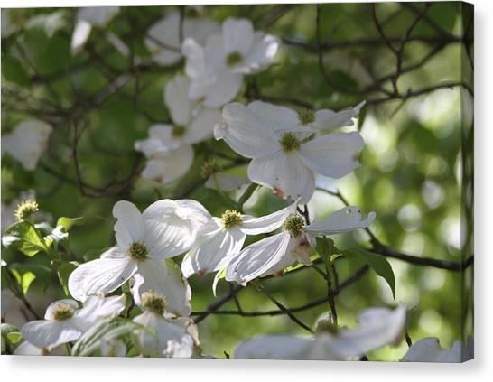 Dogwood Blossoms 3 Canvas Print