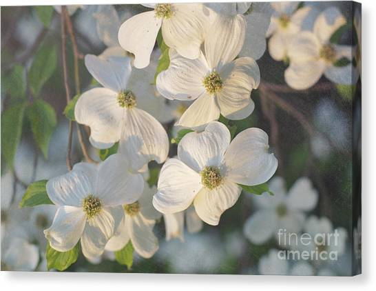 Dogwood Blossoms Canvas Print