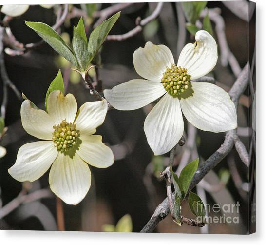 Dogwood Blossoms Canvas Print by Kenny Bosak