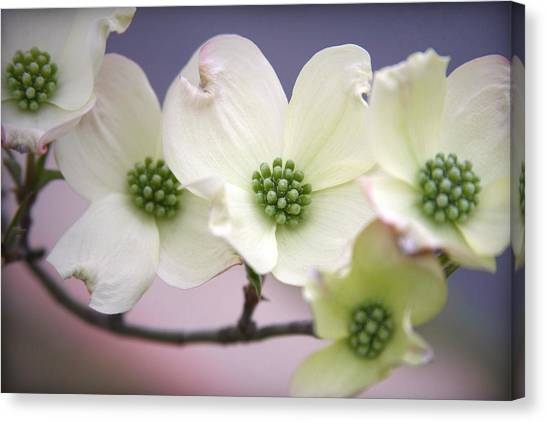 Dogwood Canvas Print by CarolLMiller Photography