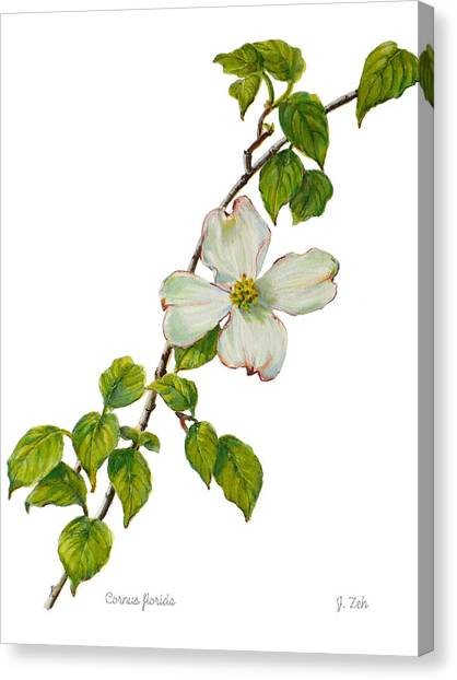Dogwood - Cornus Florida Canvas Print