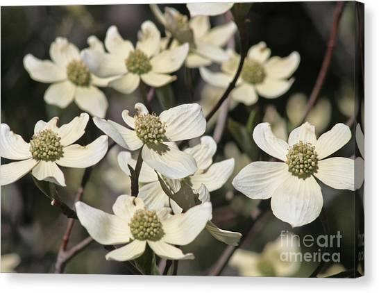 Dogwood Flowers Canvas Print by Kenny Bosak