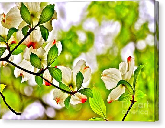 Dogwood Impressions I Canvas Print by Jay Nodianos