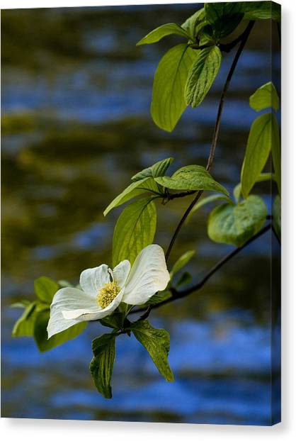 Dogwood On The Merced Canvas Print