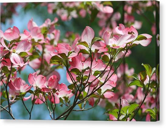 Dogwood Tree Canvas Print by Laurel Gillespie