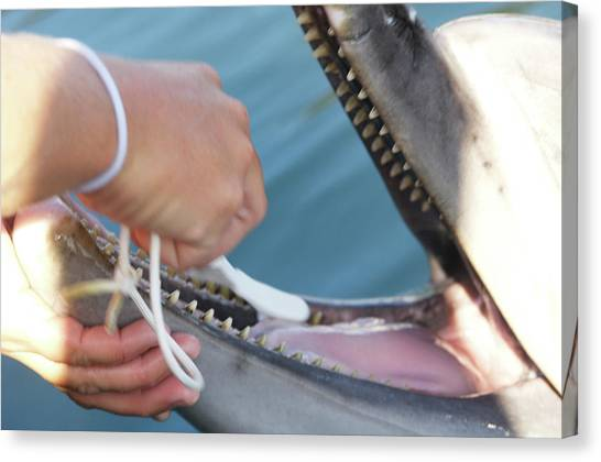Bottlenose Dolphins Canvas Print - Dolphin Having Teeth Cleaned by Louise Murray/science Photo Library