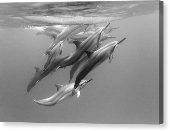 Dolphins Canvas Print - Dolphin Pod by Sean Davey