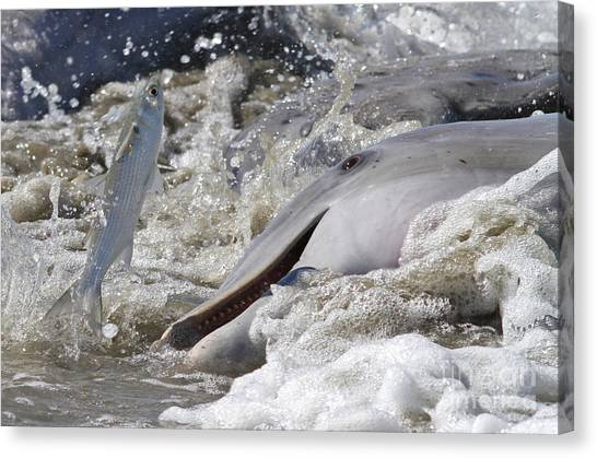 Dolphin Strand Feeding 2 Canvas Print