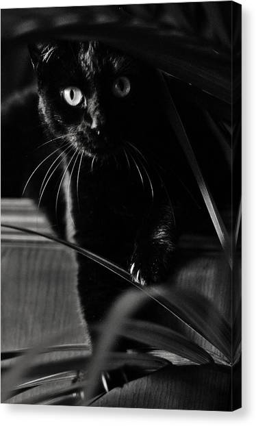 Domestic Black Panther Canvas Print
