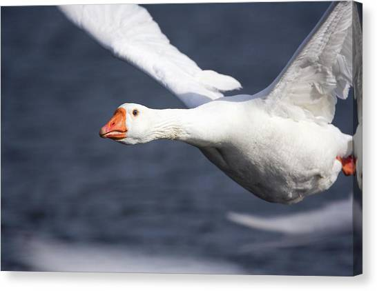 Domesticated Goose In Flight Canvas Print by John Devries/science Photo Library